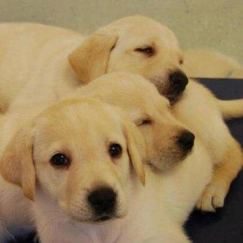 How to buy Genuine Pedigree Labrador Puppies  – Fortiswick