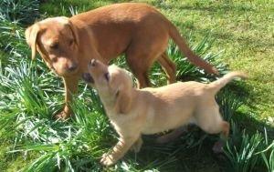 Labrador puppies yellow labradors