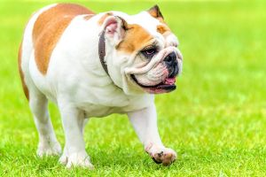 Labrador Health English Bulldog
