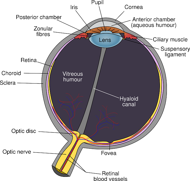 PRA Progressive Retinal Atrophy A section of the eye