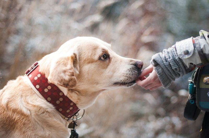 Labrador Health - Giving a Labrador a treat