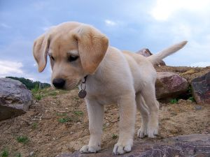 Labrador puppies are cute but grow into big dogs