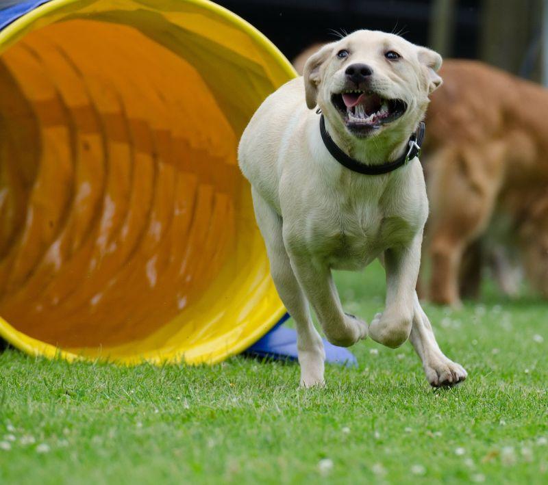 puppy training- training for agility