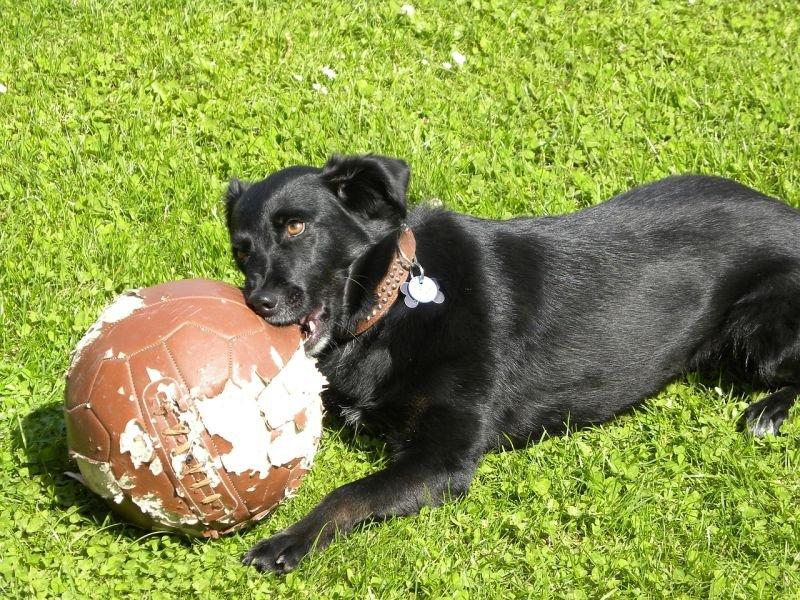puppy training Labrador chewing football