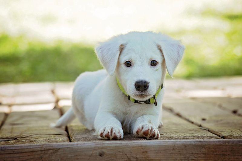 puppy training  a cute white puppy