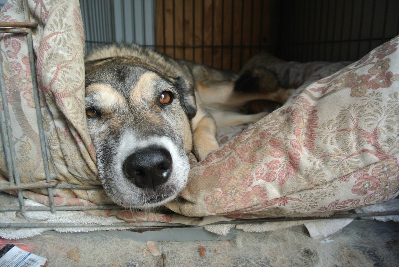Labrador Cages and Beds